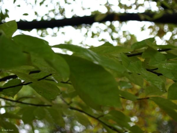 Magnolia salicifolia