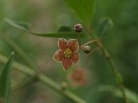 Euonymus cornutus var. quinquecornutus