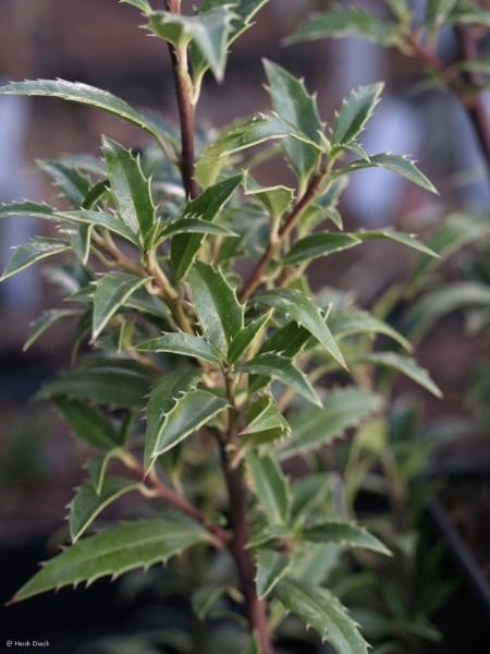 Ilex Myrtifolium