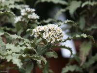 Olearia illicifolia