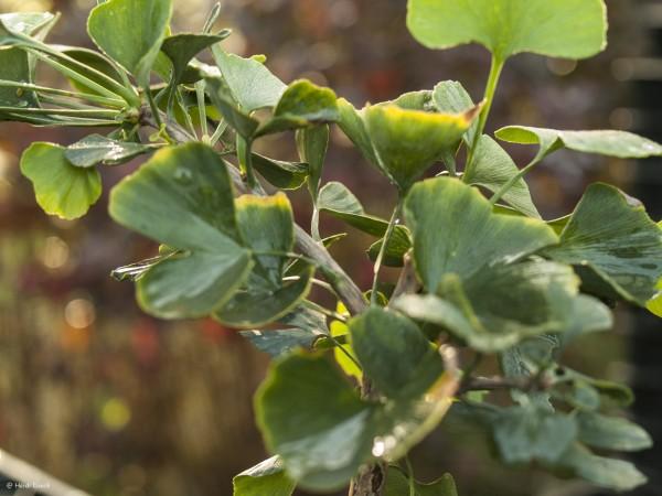 Ginkgo biloba 'Jade Butterflies