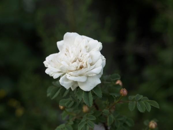 Rosa spinosissima 'Double White' (syn.pimpinellifolia)