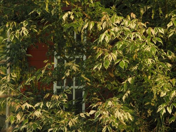Acer negundo Aureovariegata