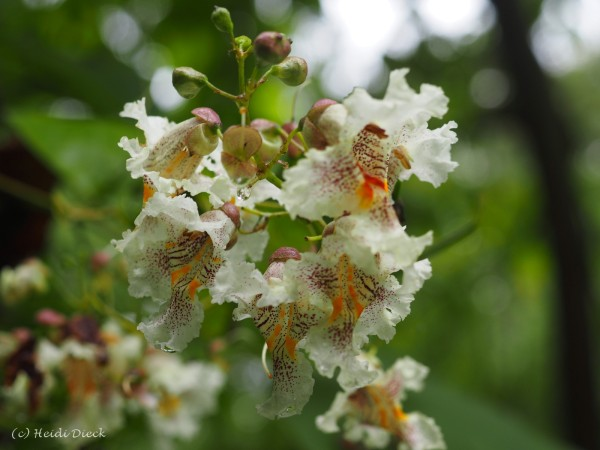 Bean Tree (Bohnenbaum)