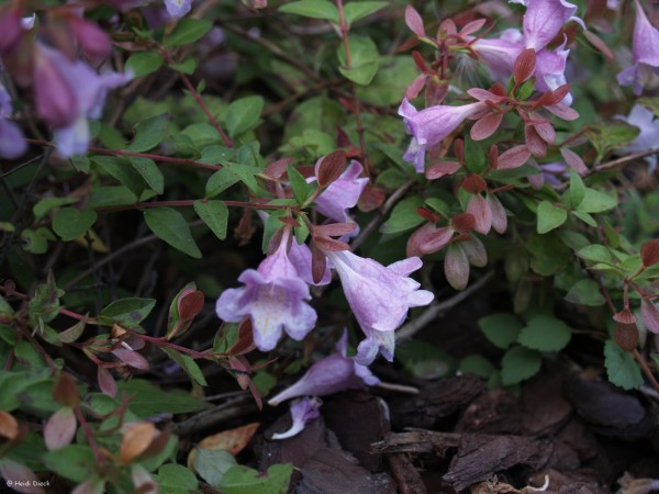 Abelia parviflora 'Bumblebee'