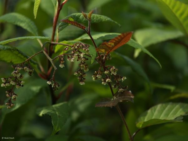 Meliosma dilleniifolia