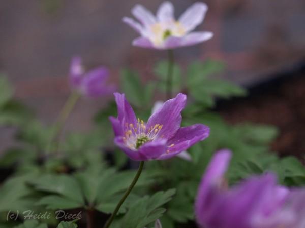 Anemone Monia