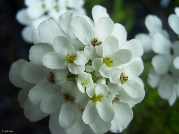 Iberis arborea Grandiflora