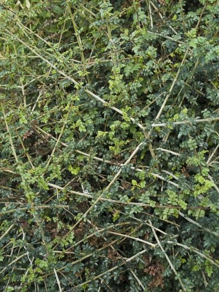 Fraxinus xanthoxyloides var. dumosa