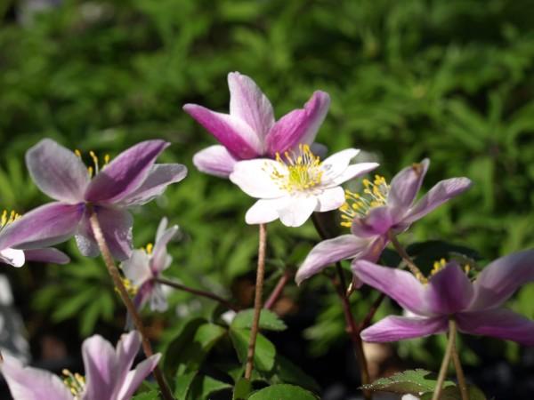 Anemone nemorosa 'Frühlingsfest'