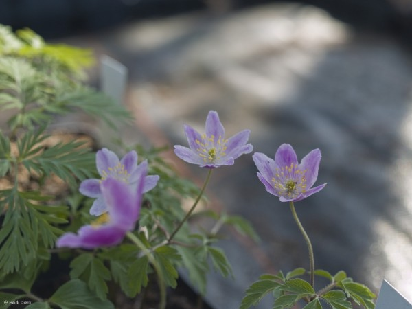Anemone Westwell Pink