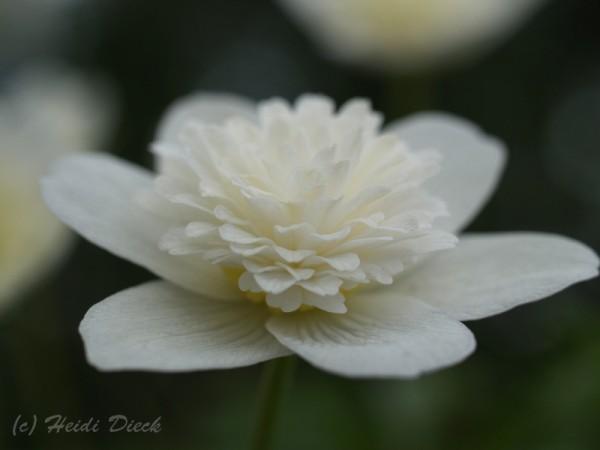 Anemone nemorosa 'Plena'