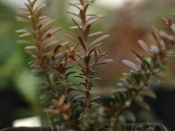 Podocarpus lawrencii x nivalis 'Young Rusty'