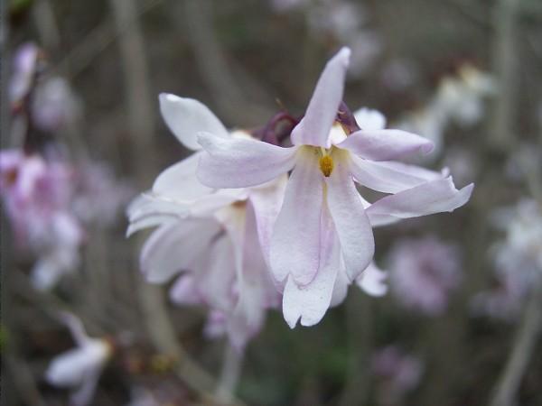 Abeliophyllum distichum Roseum