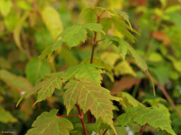 Acer caudatum ssp ukurunduense