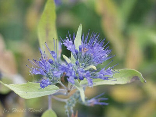 Caryopteris clandonensis 'Worcester Gold'
