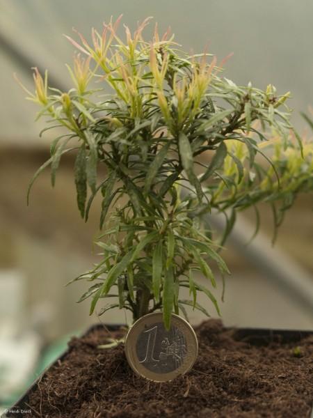 Pieris japonica 'Pygmaea'