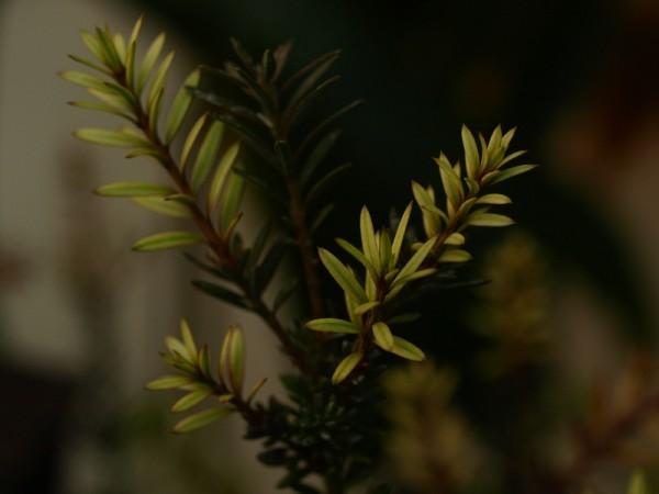 Podocarpus nivalis x acutifolius ´Chamaeleon´
