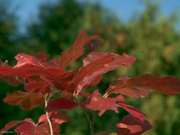Quercus falcata var pagodifolia