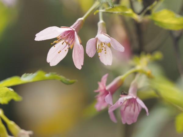 Prunus incisa 'Paean'