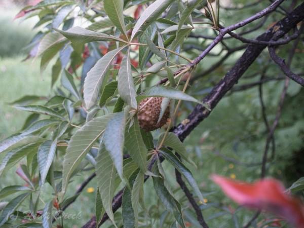 Aesculus arguta
