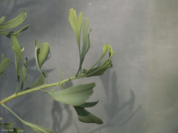 Ginkgo biloba 'Weeping Wonder'