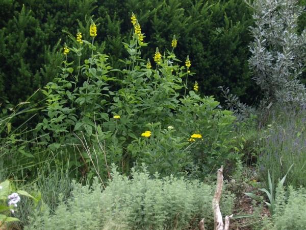 Thermopsis montana