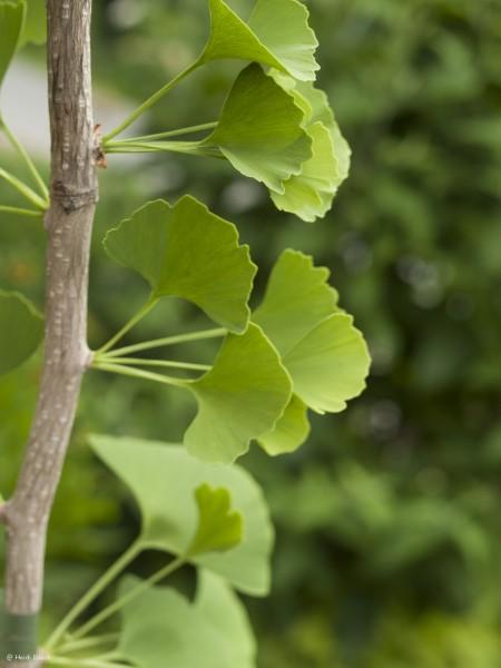 Ginkgo biloba 'Epiphylla'