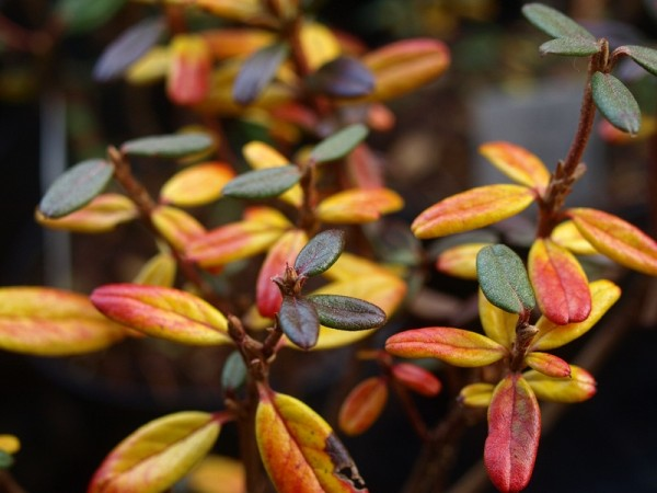 Rhododendron hypenanthum (syn.: anthopogon ssp. hypenanthum)