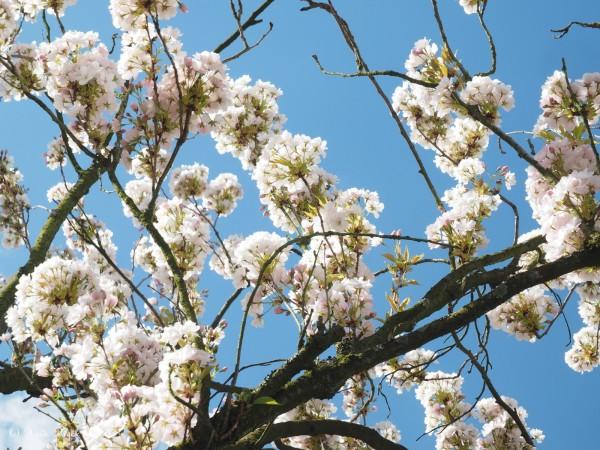 Prunus yedoense