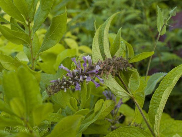 Buddleia japonica
