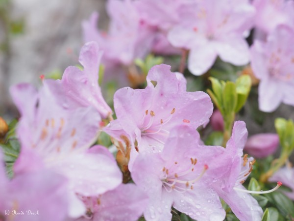 Rhododendron hybr. 'Pharalope'