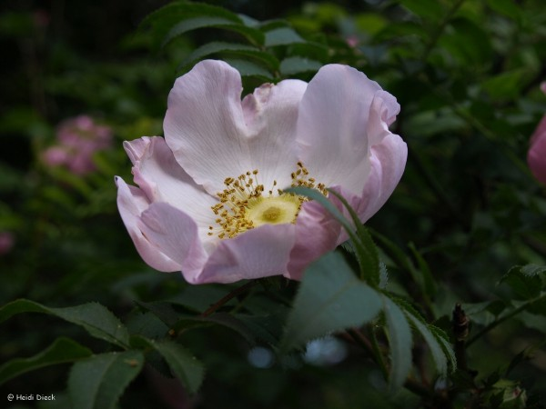 Rosa roxburghii hirtula