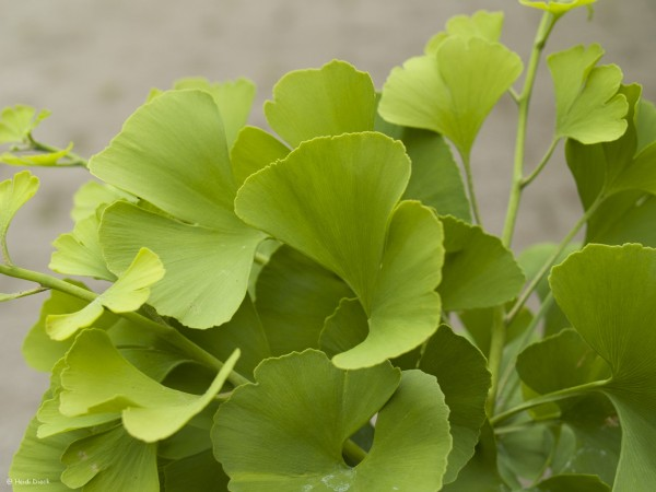 Ginkgo biloba 'Witches Broom'