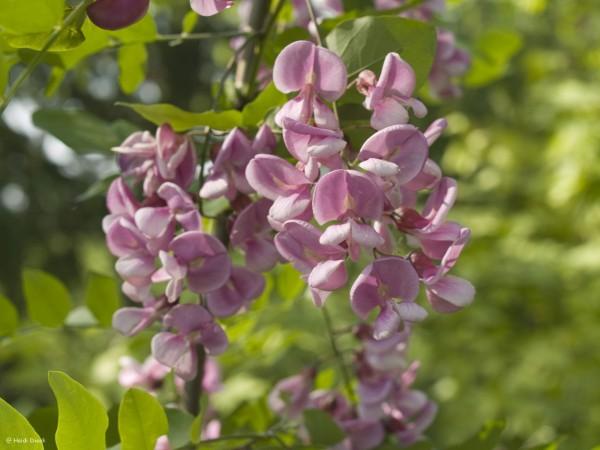 Robinia pseudoacacia 'Purple Robe'