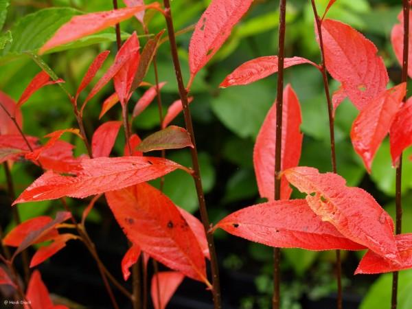 Aronia arbutifolia `Erecta`