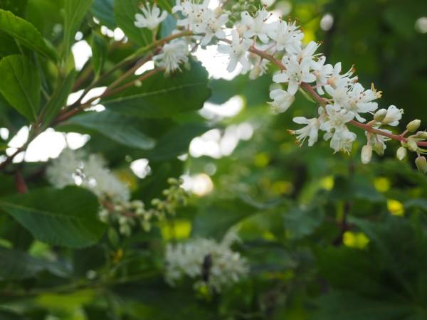 Clethra alnifolia 'Paniculata'