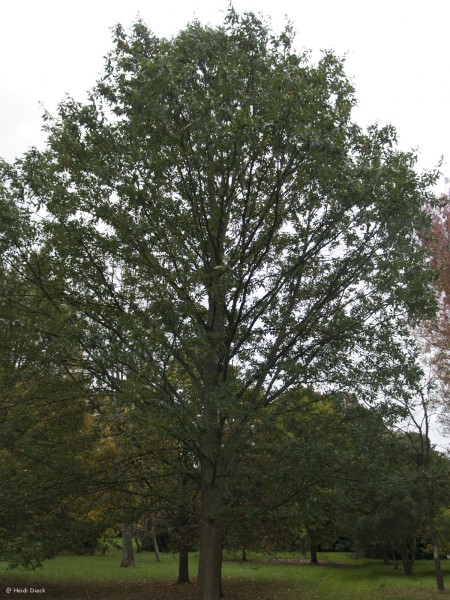 Quercus castaneifolia-Hybr