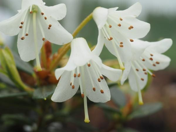 Rhododendron 'Egret'