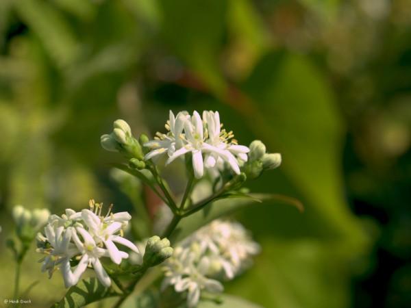 Heptacodium miconoides