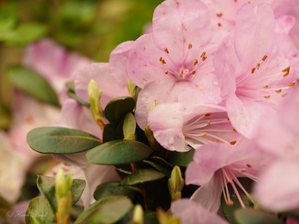 Rhododendron saluense 'Charme La'