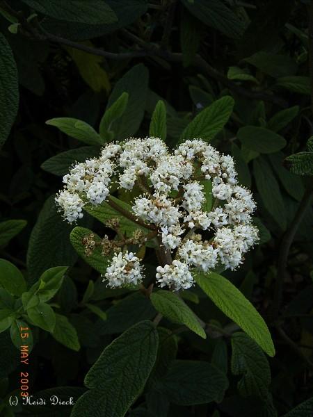 Viburnum rhytidophylloides 'Willowwood'