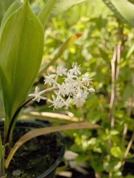 Speirantha gardenii ( syn: convallarioides)