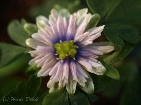 Anemone Blue Eyes