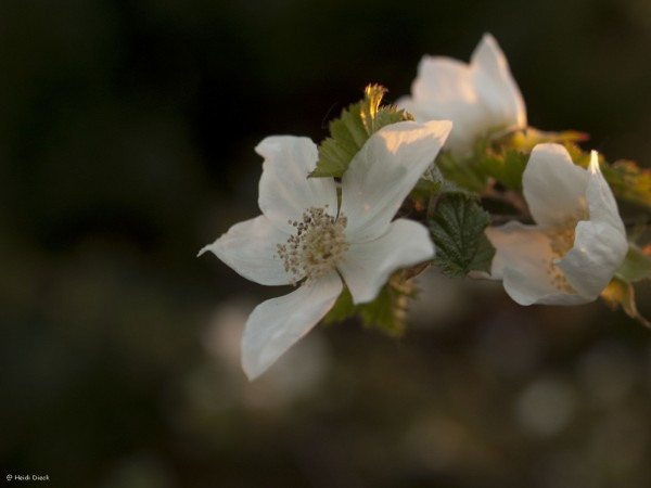 Rubus Benendon