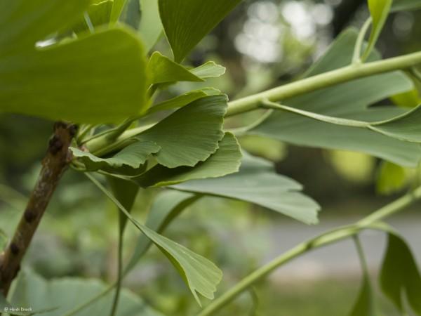 Ginkgo biloba 'Tremonia'