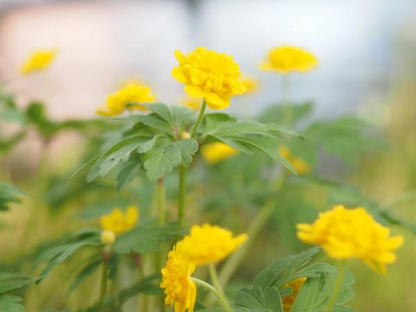 Flore Plena Mini
