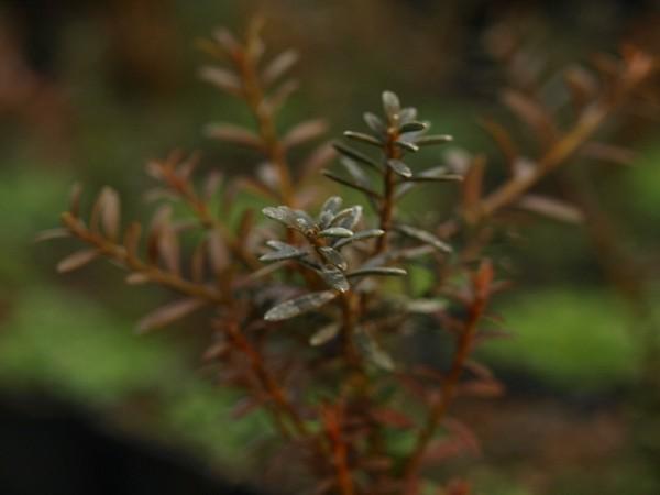 Podocarpus nivalis 'Red Embers'