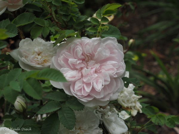 Rosa pimpinellifolia 'Stanwell Perpetual'