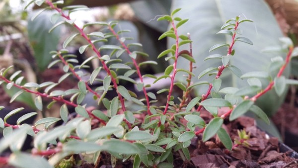 Gaultheria pumila var. empetrifolia (syn: Pernettya pumila var. empetrifolia)